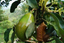 Der Avocadokern – Antioxidantienspender und Ballaststoffquelle
