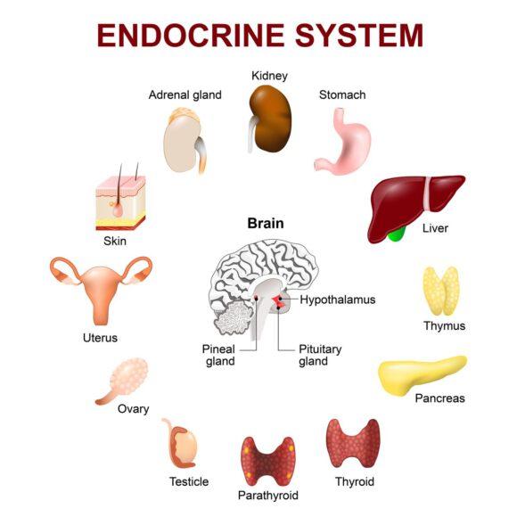 Thymusdrüse Ernährung