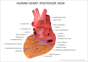 Herzmuskelentzündung -Myokarditis